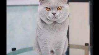 Британская короткошерстная кошка ➠ Узнайте все о породе кошек