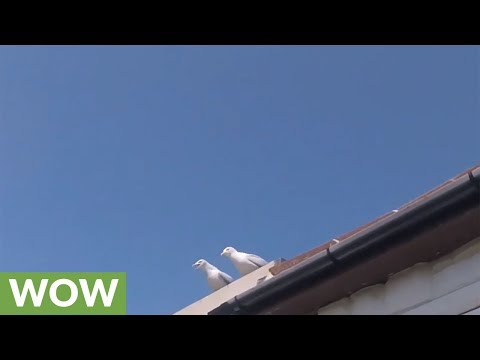 Baby seagull falls from nest, brave dad returns it