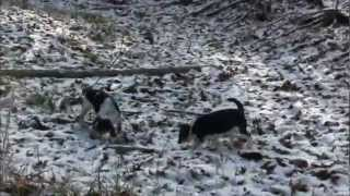 North 5 Kennels 4 Month Old Beagles In Training .wmv