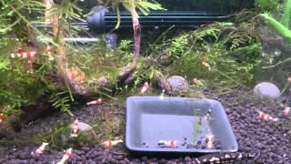 パンダシャークローチ繁殖