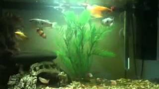 Clown Loach & Gourami feasting on Bloodworms
