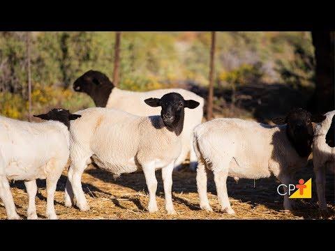 Clique e veja o vídeo Curso Produção Intensiva de Cordeiros