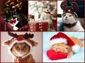 Christmas Cats and Kittens - Meowy Christmas Greeting Video