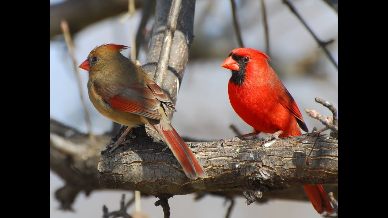 Hanging Out With Cardinal Pair, Male And Female - Youtube-1206