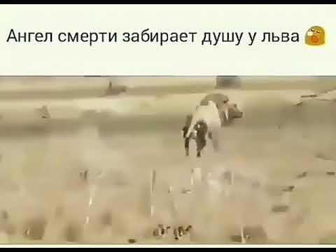 Ангел смерти забирает душу у льва 😓Я Аллах