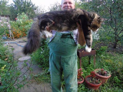 Котята Мейн Кун. #авито_котята_мейнкун