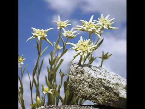 Edelweiss (german/english) with lyric