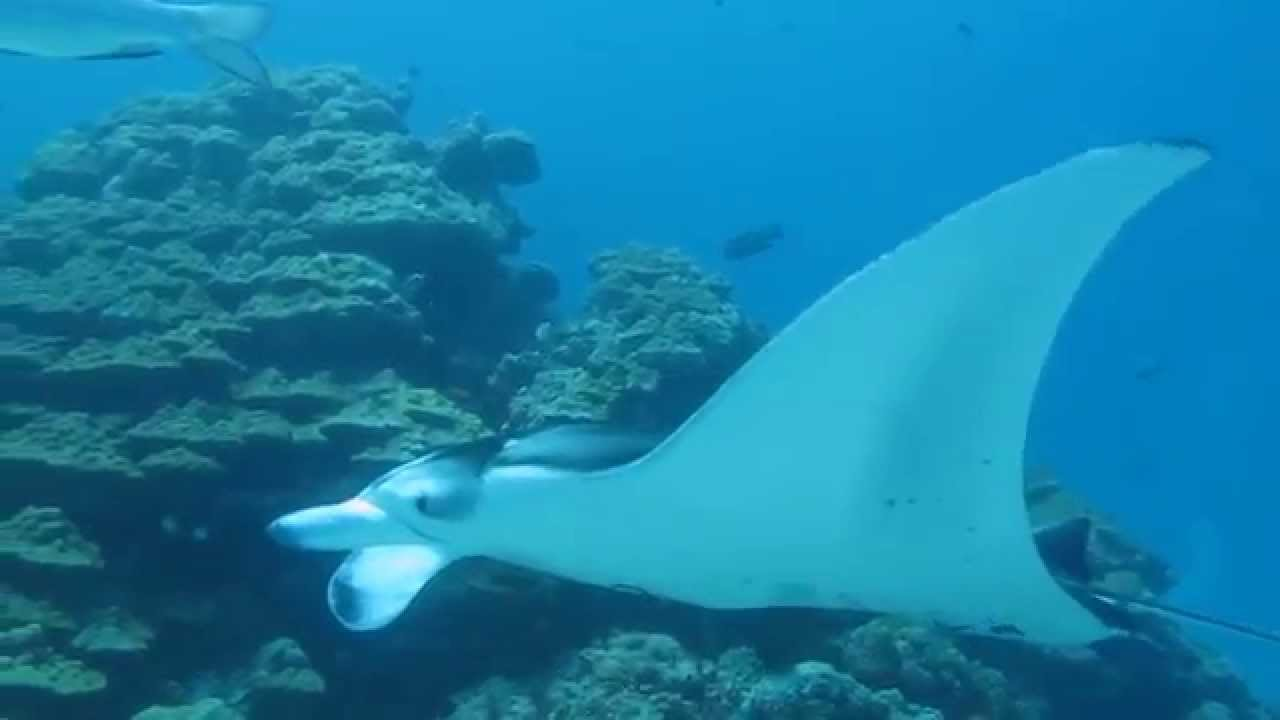 face to face with manta rays youtube. Black Bedroom Furniture Sets. Home Design Ideas