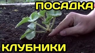 Как правильно посадить клубнику (землянику)(Если вы решили посадить на своем участке клубнику и хотите получить богатый урожай вкусных и ароматных..., 2015-08-25T06:02:14.000Z)