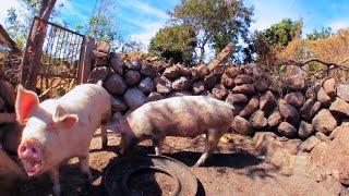 Cerdos en realidad virtual   Episodio #7