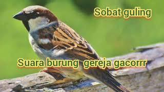 Download suara burung gereja betina memanggil jantan, suara burung gereja buat pikat