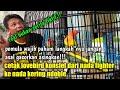 Langkah Mudah Proses Mencetak Lovebird Konslet Dari Nada Fighter Ke Nada Kering Dobelan  Mp3 - Mp4 Download