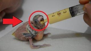 Yavru Kuş Besleme Maması Nasıl Hazırlanır?