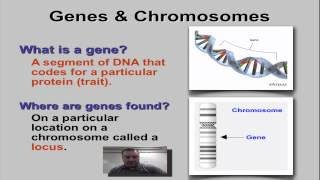 Chapter 11 Part 1 - Genes & Loci