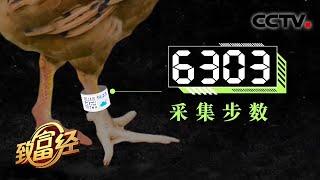 《致富经》 20210106 他给鸡戴上计步器之后| CCTV农业 - YouTube