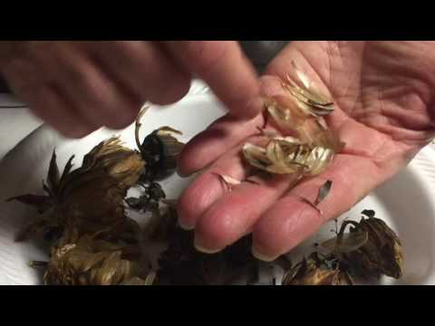 Collecting Dahlia Seeds