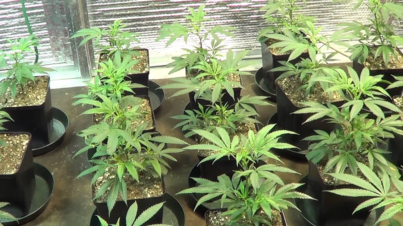 4000w All Tga Grow Featuring Qrazy Train Plushberry And Jack The Ripper 1 Week Veg Youtube