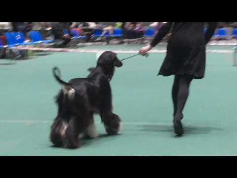 Vaasa INT Dog Show 9.4.2017, Afghan Hound Pices Santa Katarina