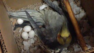 РАЗВЕДЕНИЕ КОРЕЛЛ. Птенец первый-за 19 дней. Кормление птенца кореллы. Звуки.(Мы впервые наблюдали, как размножаются попугаи кореллы в неволе. Наша пара Гарик и Рича познакомились 20..., 2015-12-22T07:26:57.000Z)