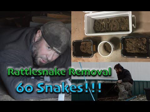 Removing 60 RATTLESNAKES From a Den Under House