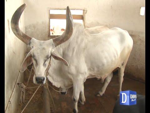 ناز نخروں سے پالا گیا 'چاند بیل' عوام کی توجہ کا مرکز