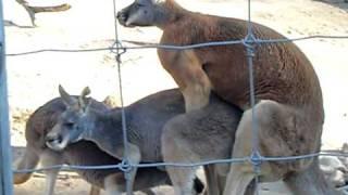 Atlanta Zoo's Kangaroos Best Kept \