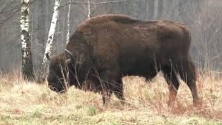 Wisent, bison bonasus, european bison, d 'europe