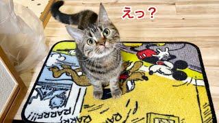 玄関で飼い主をお出迎えしたのに完全無視され大激怒してしまった猫w