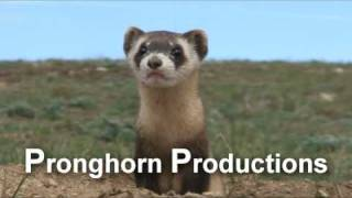 Black-Footed Ferret Stock Video Footage.mov