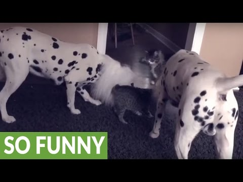 Kitten reacts to Dalmatians dressed as lions for Halloween