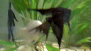 Pterophyllum scalare angelfish German Blue Blusher and Black Lace Thumbnail