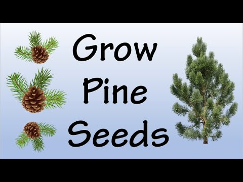 How To Grow Pine Tree From Seeds
