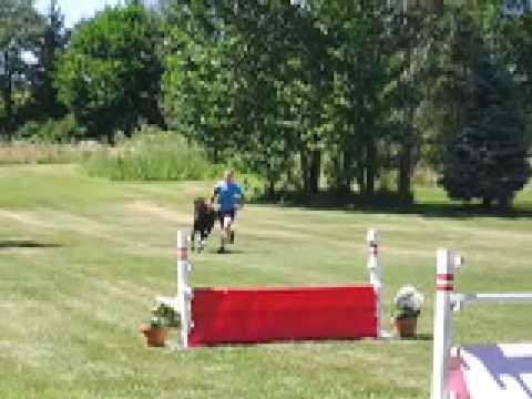 Mini Horses Jumping Really High