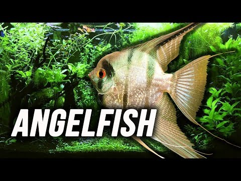 Species Spotlight | Angelfish