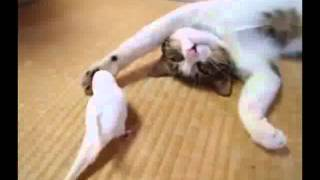 Наглый попугай пристаёт к коту.