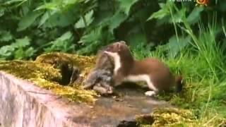 видео Охота на горностая