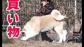 近くのKS電気に犬達と買い物に来ました 少し雰囲気が違うのか秋田犬の惣...