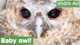 Lost baby owl gets returned to his family!