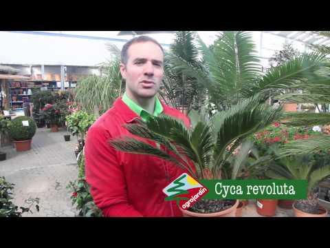 Cycas revoluta 12331 doovi for Agro jardin estepona