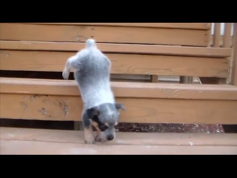 To darn cute! blue heeler pup vs stairs