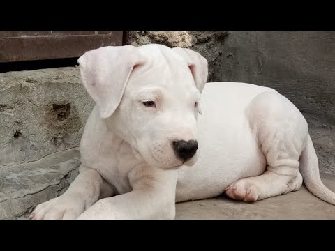 Apr 2019: Dogo Argentino Puppies for Sale (India). Purebreed 2 months old Fully White
