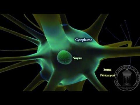 Physiologie du système nerveux : Neurone - partie 1