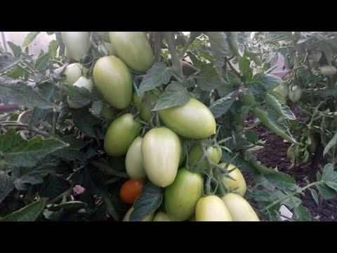 Вопрос: Какие сорта томатов вы сажаете из года в год, сколько кустов и почему их?