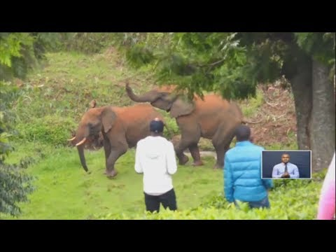 Elephants invade farms in Murang'a