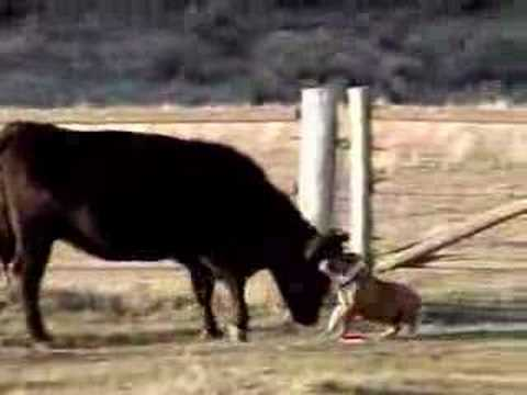 Four Seasons Rv >> Lucy the Bulldog and Giant Scary Cow Adventure - YouTube