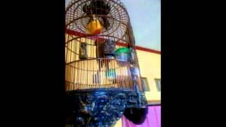 video kumpulan kicau burung Kenari, kacer, pleci, murai,