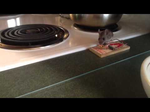 Mouse Totally Avoids Trap And Licks All The Peanut Butter O