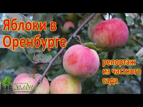 Яблоки в Оренбурге. И Вы такие сможете вырастить. Подробности https://www.pitomnikdolbnya.ru