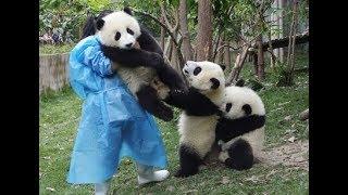 かまって💖赤ちゃんパンダが飼育員さんの邪魔しちゃうThe baby panda will get in the way of the keeper thumbnail