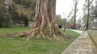 Metasekvoja (Metasequoia glyptostroboides), Park Velenje, Slovenija